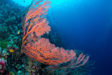 Large sea fan and marine life in Wakatobi National Park, Indonesia.