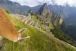 Llama grazing in Macchu Picchu