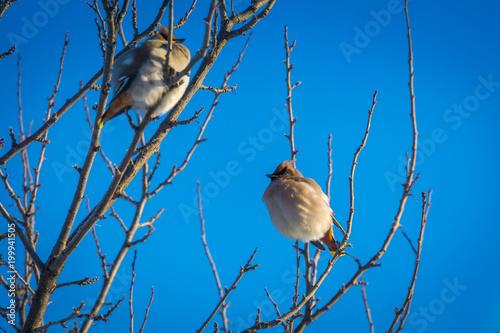 Jemiołuszka na drzewie zimą