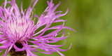 beautiful bright lilac flower of knapweed in a summer field or in a meadow
