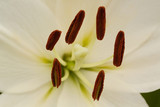 flower of a beautiful white lily, macro