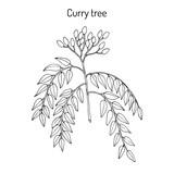 Curry tree Murraya koenigii , medicinal plant - 199965337