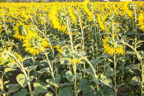 Keuken foto achterwand Geel Big sunflower field