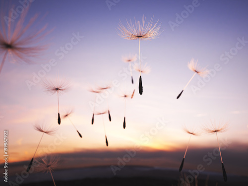 Fototapeta Dandelion seeds in the air