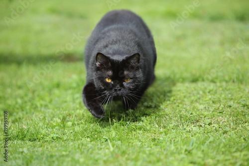 Czarny kot spaceru w trawie