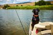 Cute alert black labrador riding in a boat