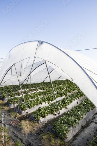 cultivo de fresas en hileras bajo invernadero con plásticos de protección