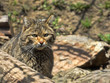 European wild cat, Felis s. silvestris, lives in the woods