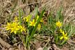 Wiosenny kwiat złoć żółta (gagea lutea)