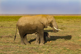Elephants in Kenya - Amboseli Park