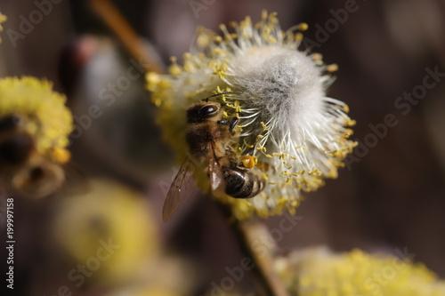 Plexiglas Bee bee on catkins