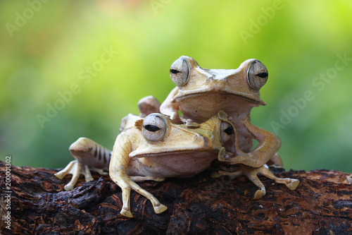 Tree frog, eared tree frog, Borneo tree frog - 200001302