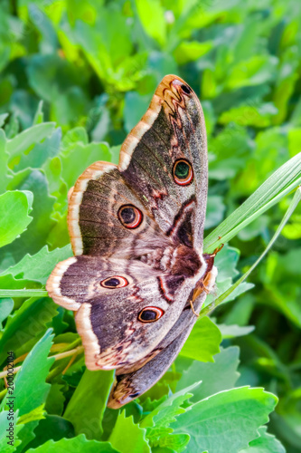 Two butterflies Large emperor moth on the grass, close-up - 200002104