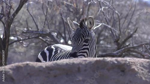 hiding zebra turns its head slow motion