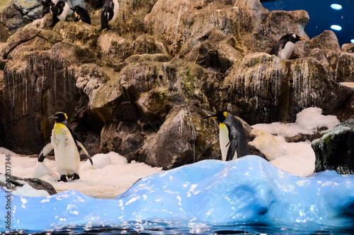 Fotobehang Antarctica Photo Picture of Wild Penguin Animal Bird Playing