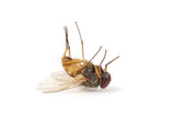 dead fly isolated on a white background - 200039150