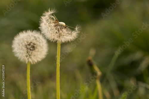 Fotobehang Paardenbloemen Close up of dandelion flowers at field in front of out of focus grass field