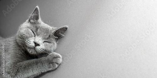 Brytyjski Shorthair popielaty kota lying on the beach na popielatym tle z przestrzenią