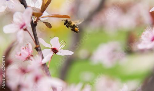 Plexiglas Bee Bee on a gentle pink flowers of plum tree