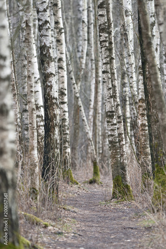 Birch trees forest at spring - 200057561