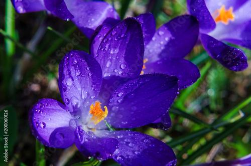 Aluminium Violet CROCUSES - Blooming flowers of early spring
