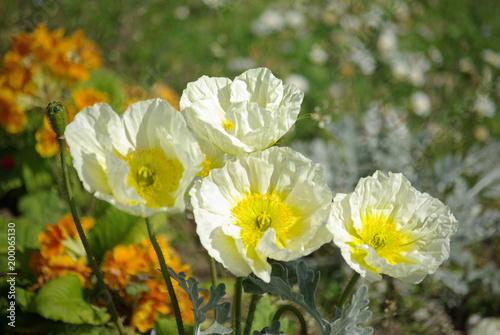 Foto op Canvas Klaprozen Pavot blanc au printemps
