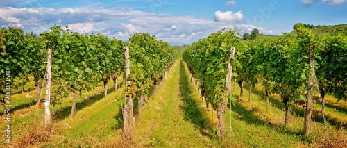 Deurstickers Wijngaard Panorama of vine stocks in a vineyard