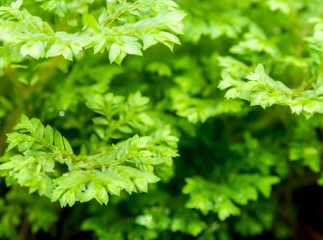 Freshness green leaf of Selaginella involvens fern