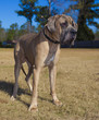Great Dane purebred male with a brown coat