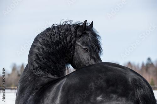 Fotobehang Paarden friesian