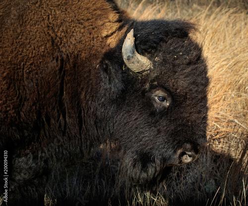 Aluminium Bison American Bison (Bison bison) portrait.