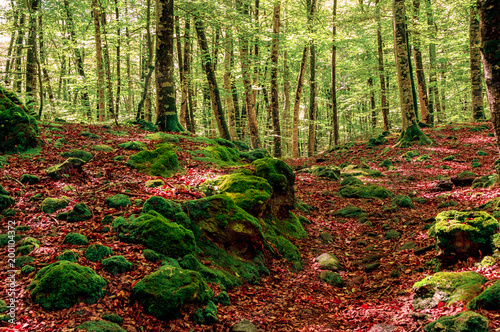 Fotobehang Diepbruine Beech forest in Spain. Beautiful landscape in the forest in autumn.