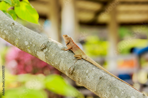 Fototapeta brown Chameleon breed of Thailand asia