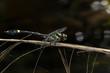 Endangered dragonfly - Chinese Tiger (Gomphidia kelloggi)