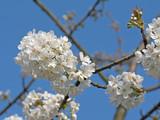 Kirschblüten, blühender Kirschbaum, Prunus avium - 200114196