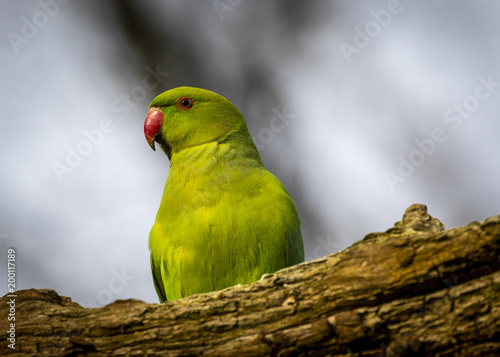 Plexiglas Papegaai Ring neck parakeet