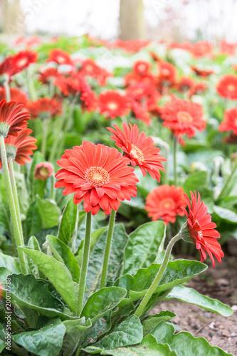 Aluminium Gerbera Red Gerbera Flowers at Keukenhof, Lisse, Netherlands