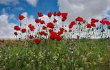 Poppy fields of Western Kazakhstan