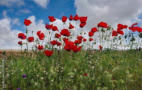 Foto op Canvas Klaprozen Poppy fields of Western Kazakhstan