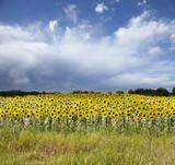 Minnesota Sunflower Field against a Stormy Sky