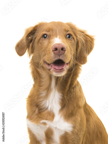 Portrait of a scotia duck tolling retriever dog with mouth open on a white background