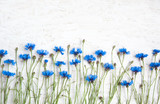 Rustic Border of Blue Cornflower on grunge white background