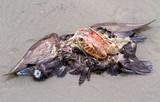 Cadaver of a dead duck on the beach - 200134569