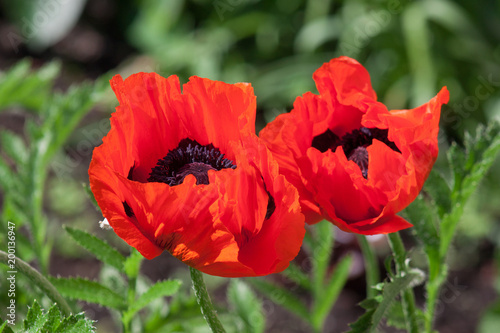 Fotobehang Klaprozen Two red poppies are growing on a spring meadow. Cultivated plants.