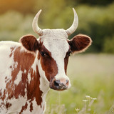 Portrait of a red - a white cow