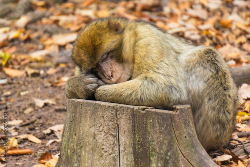 Fotobehang Aap Close-up of cute barbary ape monkey (macaca sylvanus) asleep on a tree trunk in a forest in fall.