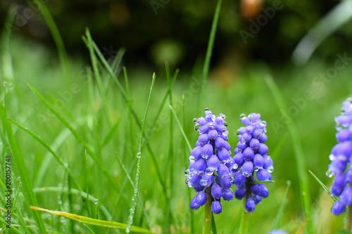 Fotobehang Lavendel gros plan sur des fleurs avec la rosée du matin