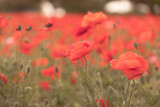 Poppies in soft light