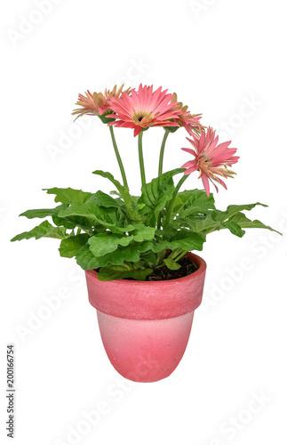 Aluminium Gerbera Gerbera flowers (Gerbera jamesonii) pink in a pink pot isolated on white