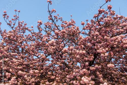 Fotobehang Kyoto 八重桜